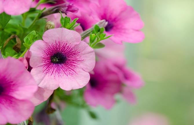 petuniafiore.jpg