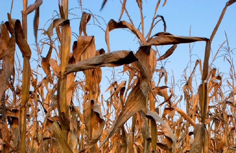 danni all'agricoltura toscana da siccità estiva