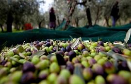 Sostegno a olivicoltura