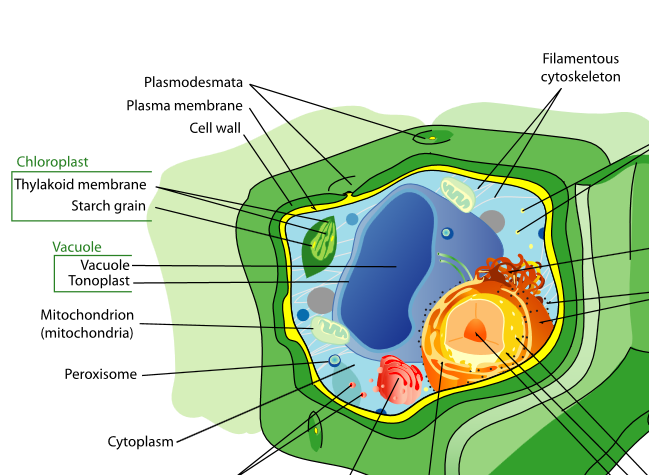 plant cell diagram unlabeled - DriverLayer Search Engine