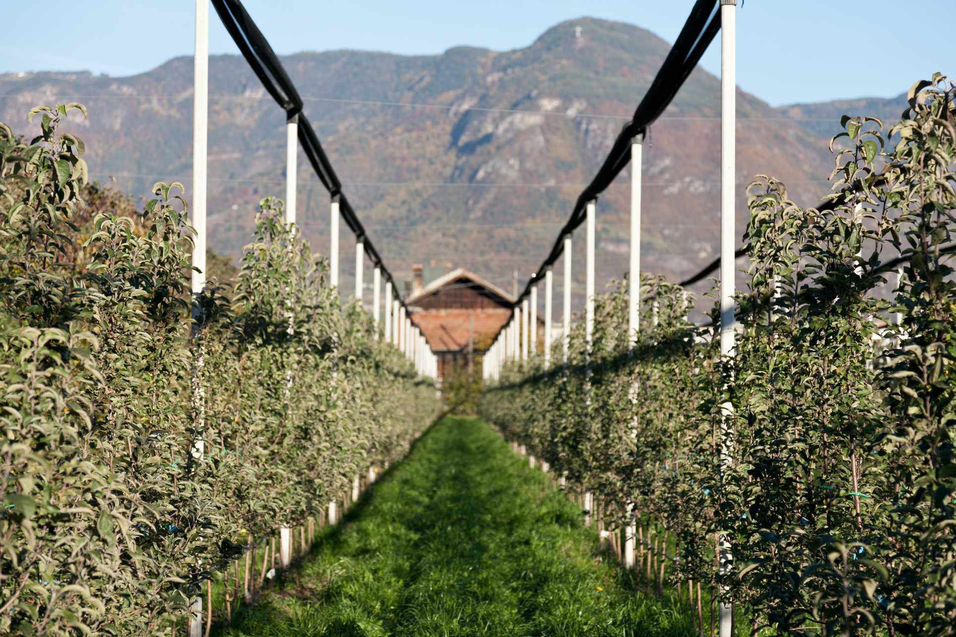 Risultati immagini per coltivazione intensiva mele