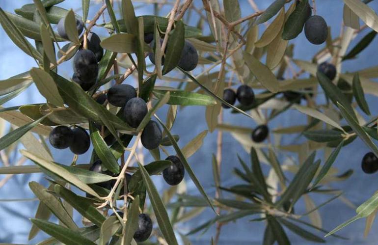 Crea: sequenziato il genoma della varietà di olivo Leccino